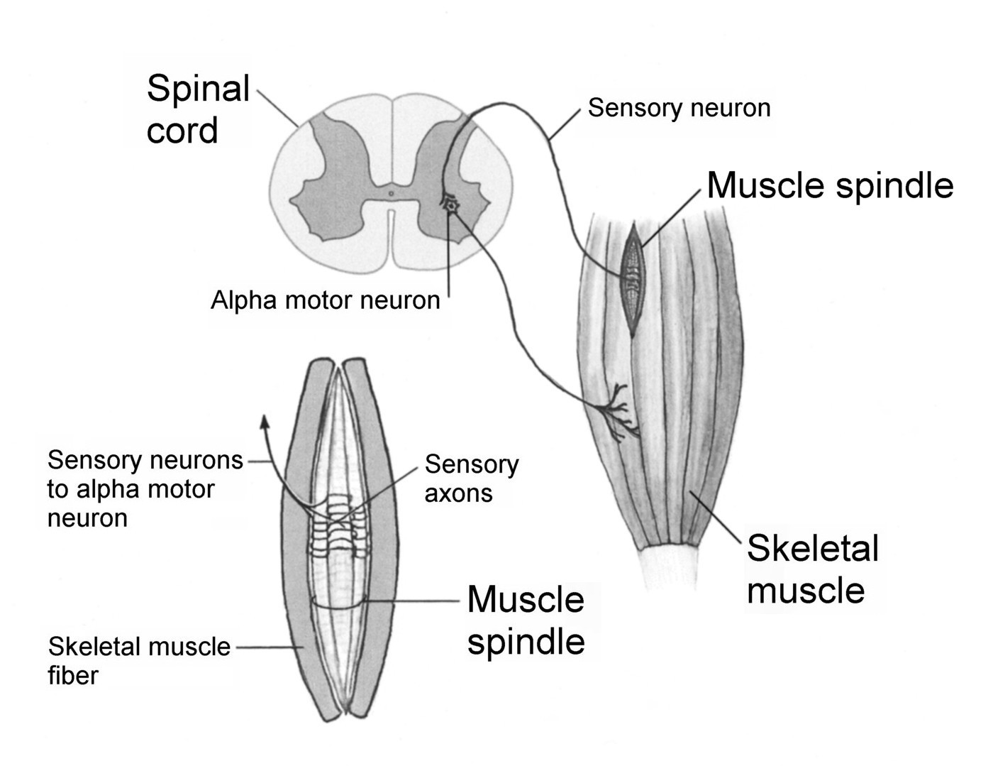 Stretch reflex myotatic reflex