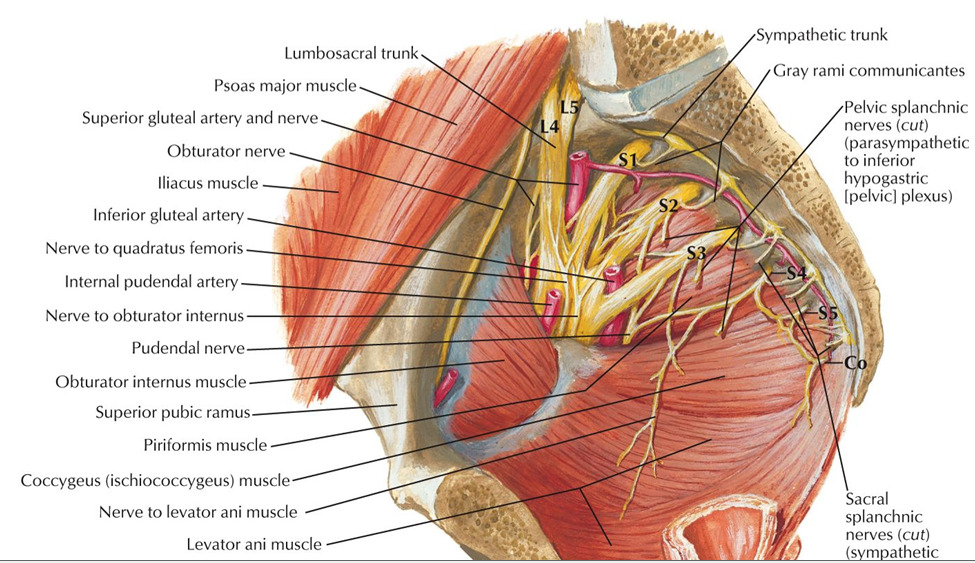 Pelvic Nerves