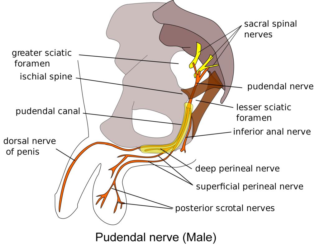 Pudendal nerve Male