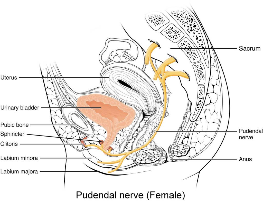 Pudendal nerve female